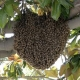 bee swarm rescue