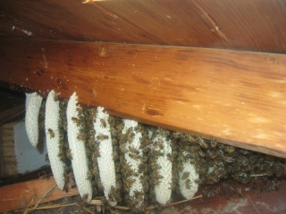 Young Bee Hive